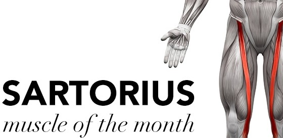 MUSCLE OF THE MONTH: THE SARTORIUS