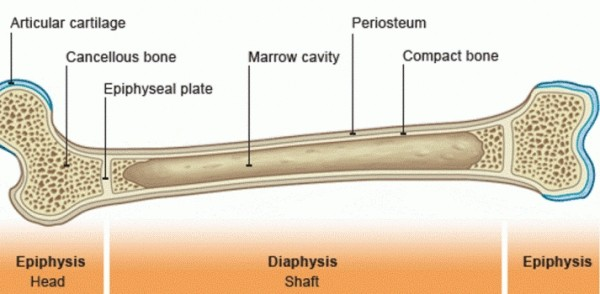 BONE STRUCTURE AND CLASSIFICATION